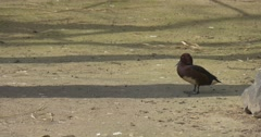 Mallard is Walking Away Awkwardly Spring Sunny Day Bird is Moving by Dry Ground Stock Footage