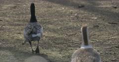 Two Gray Geese Walking Away From Camera Waterfowl Birds in Zoo Feeding in Stock Footage