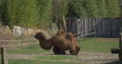 Camel Lies Down to Ground Leanes to Knees Grazing on Green Grass Animals Stock Footage