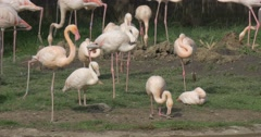 Flamingos Flock is Standing Together on a Lawn Bank of Lake in Zoo Wading Birds Stock Footage