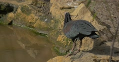 Bald Ibis Stands on Stony Bank of Swamp Drinks Water Leans Long Down Curved Stock Footage