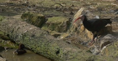 Black Bald Ibis Drinks Water on Bank of Swamp Mallard Gets Off the Water and Stock Footage