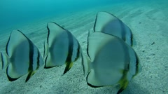 Orbicular batfish (Platax orbicularis) - stock footage