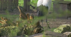Legs and Wings of Grey Crowned Crane Endangered Bird is Walking Slowly by Stock Footage