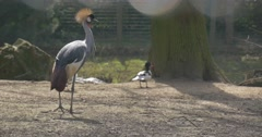 Grey Crowned Crane and Drakes Mallards in Aviary Endangered Bird With Golden Stock Footage