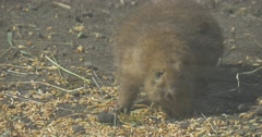 Ground Squirrel is Eating Dry Grass in Aviary European Ground Squirrel Cute Stock Footage