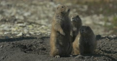 Squirrel Family Sit at Hole on Its Hind Legs Rodents Burrowing Tunnel Wildlife Stock Footage