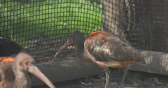 Juvenile and Adult Scarlet Ibises Walk by Aviary in Zoo in Sunny Day Bird With Stock Footage