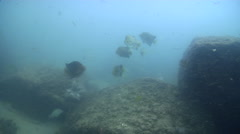 Spotted scat swimming on river mouth rock wall, Scatophagus argus, HD, UP32267 Stock Footage