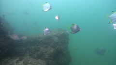 Diamondfish swimming on river mouth rock wall, Monodactylus argenteus, HD, Stock Footage