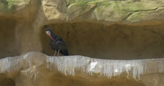 Two Black Bald Ibises Stand is Niche of Rock Walk by Tunnel Long Curved Beak Stock Footage