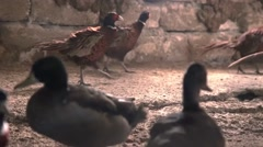 Ring-necked Pheasant and ducks on traditional farm Stock Footage