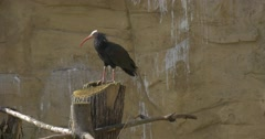 One Bald Ibis With Red Beak Rocky Habitats Sunny Springtime Day Bird Stands on Stock Footage