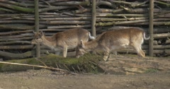 Two Fawns Graze Shake Their Tails Deer Cubs Animals Walk Along Wooden Fence in Stock Footage