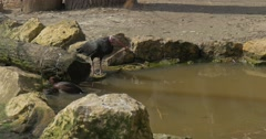 Bald Ibises Comes to Lake Drink Water Stony Bank Sunny Spring Day Bird in Stock Footage