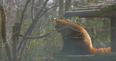 Lesser Panda is Eating Fresh Leaves on Tree Branches Sitting on Wooden Log Stock Footage