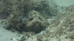 Estuarine stonefish ambush predator waiting on river mouth rock wall, Synanceia Stock Footage