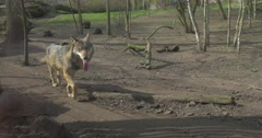 Wolf is Running Passing by Camera in Zoo Springtime Meadow on Background Dry Stock Footage