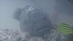 Orange-spotted grouper ambush predator waiting on river mouth rock wall, - stock footage