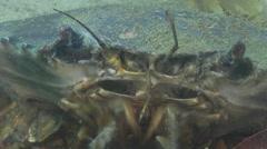 Mud crab preening on river mouth rock wall, Scylla serrata, HD, UP32379 Stock Footage