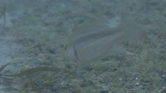 Juvenile Spangled emperor feeding on river mouth rock wall, Lethrinus nebulosus, - stock footage