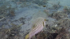 Striped pufferfish swimming on river mouth rock wall, Arothron manilensis, HD, Stock Footage