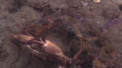 Two spot swimmer crab courting on river mouth rock wall, Thalamita sp., HD, Stock Footage