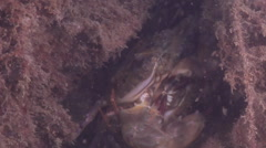 Two spot swimmer crab mating on river mouth rock wall, Thalamita sp., HD, Stock Footage