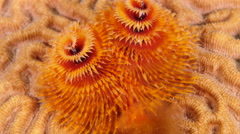 Underwater - reef - Christmas Tree Worm - Close up - Curacao - Caribbean - 4K Stock Footage