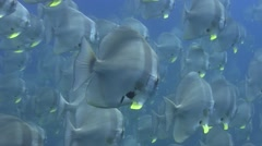 Batfish shoal.  Close Up. Non Colour Corrected - stock footage