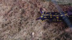 Yellow spot dark blue slug walking on river mouth rock wall, Hypselodoris Stock Footage