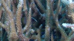 Juvenile Chocolate grouper hiding on hard coral microhabitat, Cephalopholis Stock Footage