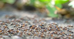 Colony Of Ants Dismember And Eating Beetle Stock Footage
