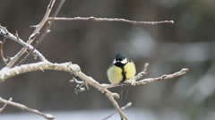 Bird Great tit (Parus major) pecks seed while sitting on a branch under the snow Stock Footage