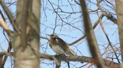 Thrush Fieldfare (Turdus pilaris) sitting on a branch Stock Footage
