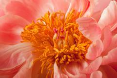 Peony Blossom background - stock photo