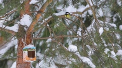 Great Tits  (Parus major) on a feeding trough Stock Footage