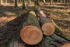 Cut pine trees in the forest Stock Photos