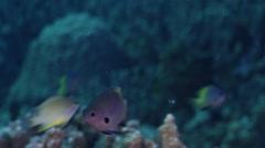Goldback damsel feeding in lagoon, Pomacentrus nigromanus, HD, UP32506 Stock Footage
