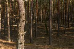 Pine trunks in a forest Stock Photos