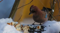 Eurasian jay (Garrulus glandarius) eats seeds and bread sitting in a manger - stock footage