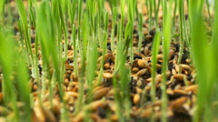 Wheat Green Sprouts, a Raw Food Diet, Growing Stock Footage