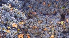corkscrew crusher destemmer in winemaking - stock footage