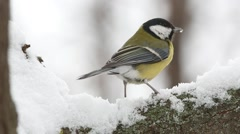 Bird Great Tit  (Parus major) pecks butter very close-up Stock Footage