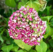 Beautiful hydrangea flower, seasonal natural scene Stock Photos