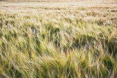Yellow wheat field, seasonal natural scene Stock Photos