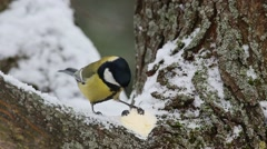 Great Tit  (Parus major) close-up Stock Footage