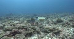 Lion's mane jellyfish swimming on shallow coral reef, Cyanea capillata, 4K Stock Footage