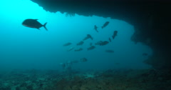Humpback sweetlips hunting and schooling on large cavern full of baitfish. - stock footage