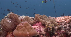 Porcelain crab on coral reef, Neopetrolisthes maculatus, 4K UltraHD, UP36042 Stock Footage